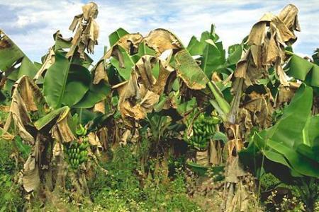 La plaga del banano sigatoka negra