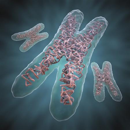 Cromosoma artificial de la levadura 2