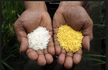 transgenico arroz dorado